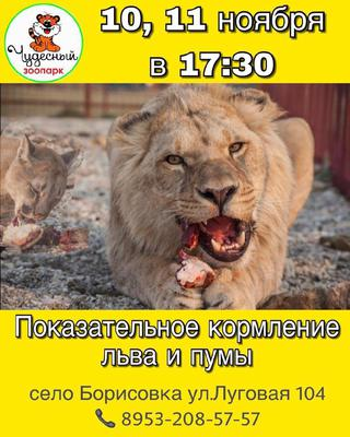 Показательное кормление льва и пумы в зоопарке Чудесный