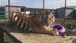 Зоопарк Уссурийска попросил отдать им пойманного во Владивостоке тигра