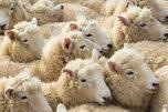 Новый очаг инфекции оспы овец локализован в Уссурийске