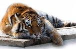 Тигренка-сироту поймали в Приморье