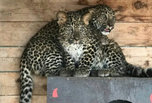 В зоопарк под Уссурийском привезли двух леопардов