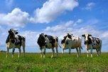 Жители Уссурийска спасли стадо коров