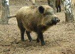 В Уссурийске обнаружен вирус чумы свиней