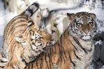 Пойманные в приморском селе тигрята преподнесли специалистам гендерный сюрприз