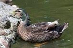 Охота на уток начнется в конце марта в Приморье