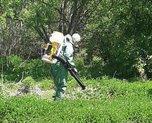 Уссурийской наркополицией уничтожены очаги дикорастущей конопли площадью свыше 3 га