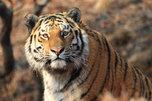 Труп амурского тигра обнаружен в Хабаровском крае
