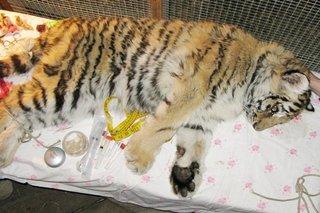 В Приморье собирают деньги на то, чтобы приучить молодую тигрицу охотиться