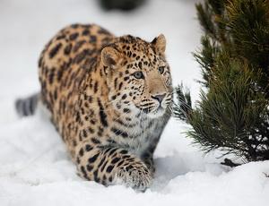 Леопарды могут изчезнуть в Приморье