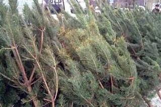 Лесничества Приморья заготовили новогодних елей в несколько раз меньше, чем планировали