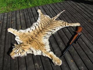 При попытке сбыта шкуры амурского тигра задержаны жители Уссурийска