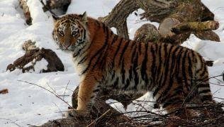 Популяция тигров в приморской тайге за год уменьшилась на 20 особей