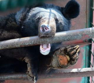 Семье Лещенко не под силу содержать 10 гималайских медведей