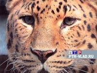 В Уссурийской тайге  на одного леопарда стало  меньше