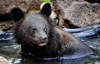 Двух гималайских медведей, спасенных в Приморском крае, доставят в Ленобласть