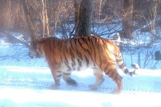 В Уссурийском заповеднике ученые «встретили» двух знакомых тигров