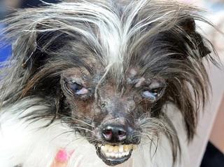 Самая уродливая собака в мире 2014 года