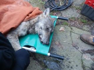 Спасение волка из холодной реки
