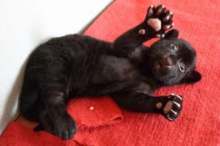 В китайском зоопарке родился черный тигренок