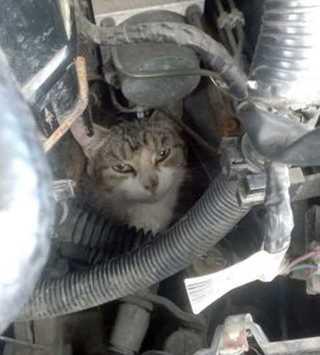 Любопытная кошка неделю изучала двигатель автомобиля