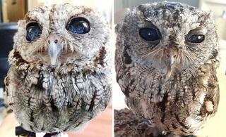 Найдена сова с «космосом» в глазах