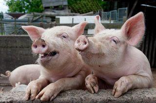Администрация УГО информирует о профилактике заболевания африканской чумы свиней