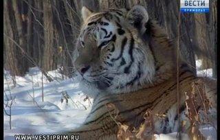В Приморье из Геленджика ради встречи с дальневосточным женихом прибыла тигрица Кассандра