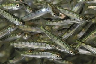 В реки Приморья выпустили около 18 миллионов мальков кеты