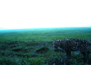 Ущерб от визитов леопарда составил порядка 330 тысяч рублей - фермеры Уссурийска