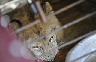 Спасенный из затопленного зоопарка лев переехал из тесной клетки в просторный вольер
