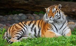 Заспиртованные кости амурского тигра нашли в уссурийском кафе