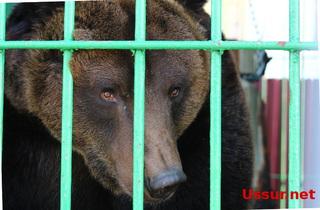 В новом зоопарке Уссурийска из-за наплыва посетителей спасенным мишкам решили дать выходные.