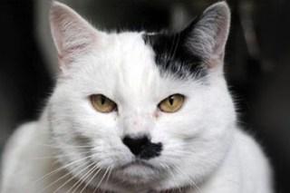 Найдена причина рождения похожих на Гитлера котов