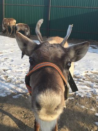 На Старый Новый год под Уссурийском поселились северные олени