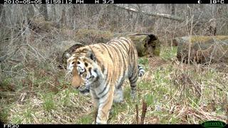 Учёные исследуют тигров в Уссурийском заповеднике