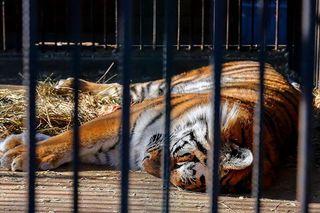 Взрослого тигра, успевшего задрать корову, поймали под Владивостоком