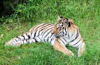 Тигр, который вышел к людям под Уссурийском, опасности не представляет – охотнадзор