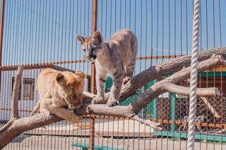 Годовщину дружбы льва и пумы отметят в зоопарке «Чудесный» в Уссурийске