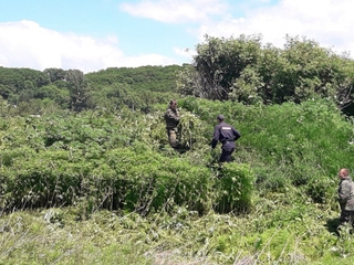Полицейские в Уссурийске обнаружили семь очагов произрастания дикорастущей конопли