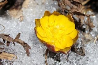 В Приморье распустились первые цветы адониса