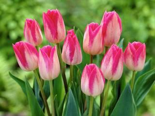 В Уссурийске скоро зацветут тюльпаны