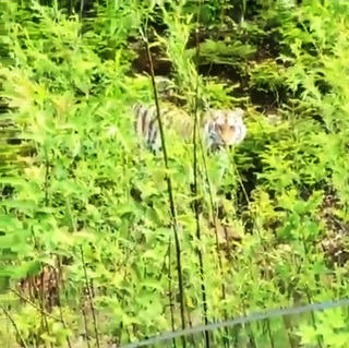 Тигриная семья вышла к дороге в Уссурийске