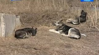 Жительница Уссурийска чудом спаслась от озверевшей стаи собак