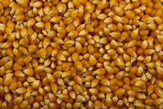 Опасные вещества в партии кормовой кукурузы выявили в Уссурийске