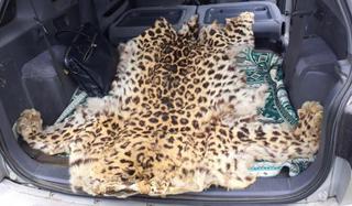 Шкуру дальневосточного леопарда изъяли полицейские у жителя с. Воздвиженка
