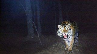 Тигра, убившего человека в Хабаровском крае, привезли в Уссурийск