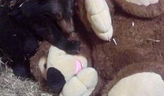 Спасенному медвежонку в Приморье подарили игрушку
