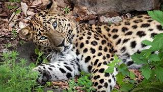 В Приморье собака загнала на дерево редкого дальневосточного леопарда