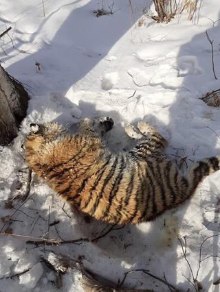 В Приморье рейсовый автобус насмерть сбил амурского тигренка