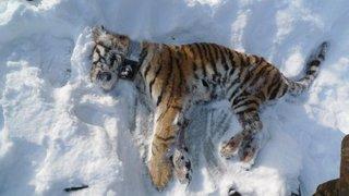 Отчего в тайге погибла молодая тигрица. Комментарии специалистов РАН